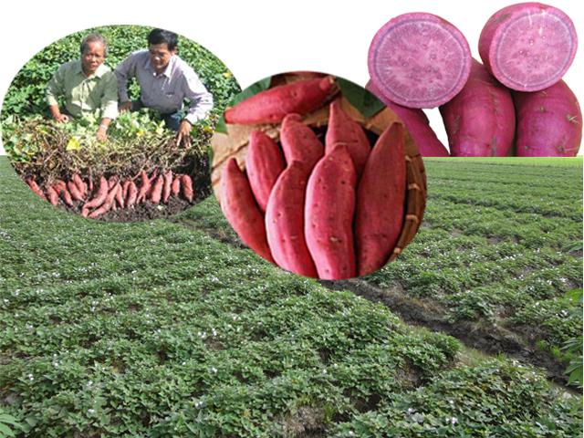 Nỗi lo của người trồng khoai lang ở Vĩnh Long