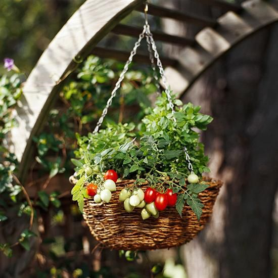 Bí quyết trồng cà chua trong sân vườn nhà bạn